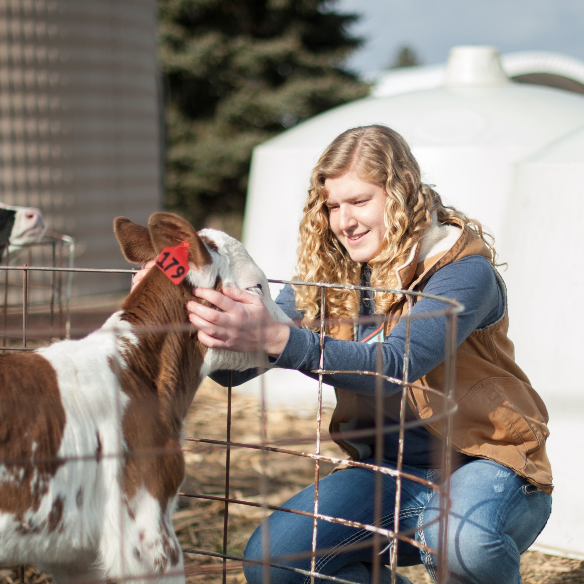 A female student inspects a calf.