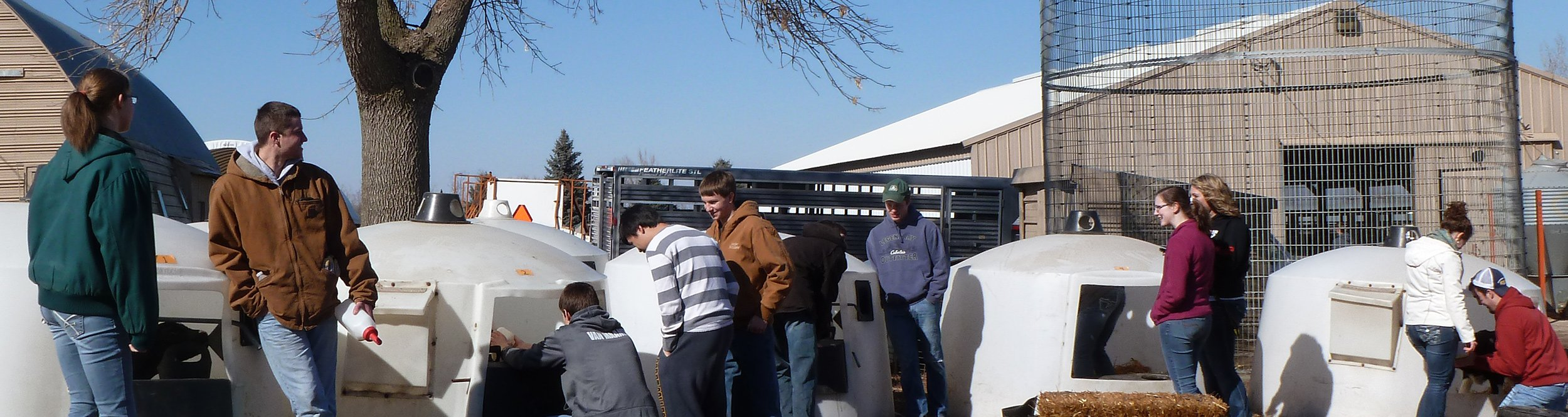 Students gather around huts with calves in them.