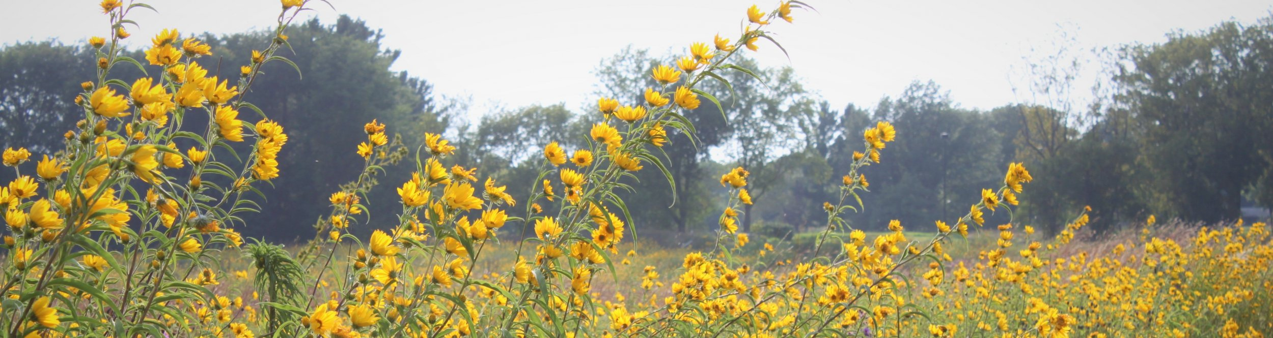 Yellow flowers in a prairie.